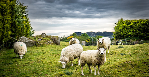 Sheep grazing the green pastures of Ireland. Flickr:Guiseppe Milo