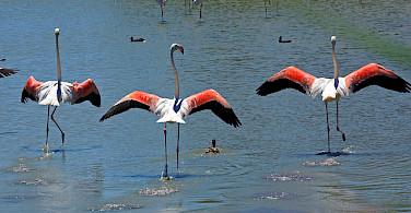 Flamingos in the Camargue. Photo via Flickr:aschaf
