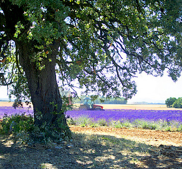 Lavender fields of course! Photo via Flickr:Widerbergs