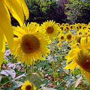 Provence à la Van Gogh Photo