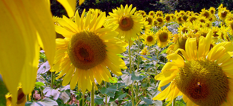 Bike Provence along the Sunflower fields in summer! Photo via Flickr:Michal Osmenda