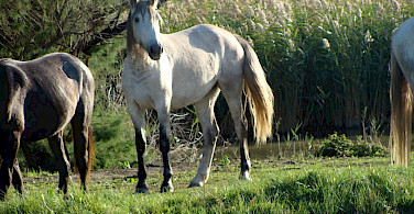 wild horses of the Camargue - photo by Clare MacKeigan
