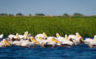 Breeding pelicans on the Danube Delta in Romania. Photo via TO
