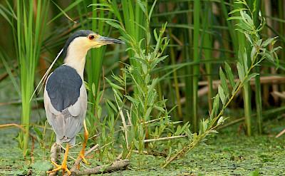 Flora and fauna in the Danube Delta, Tulcea County, Romania. CC:Artur Mikolajewski