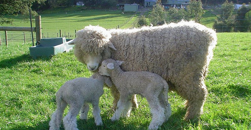 Wool is an important export for New Zealand. Photo via Wikimedia Commons