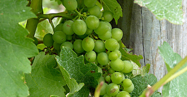 Sauvignon Blanc. Photo via Flickr:Mafue