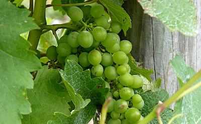 Sauvignon Blanc. Photo via Flickr:Mafue