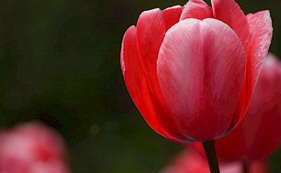 Holland is known for its tulips! Flickr:Bernard Spraggnz