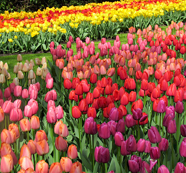 Tulip fields abound in April and May before harvest. Photo via Flickr:IMBiblio
