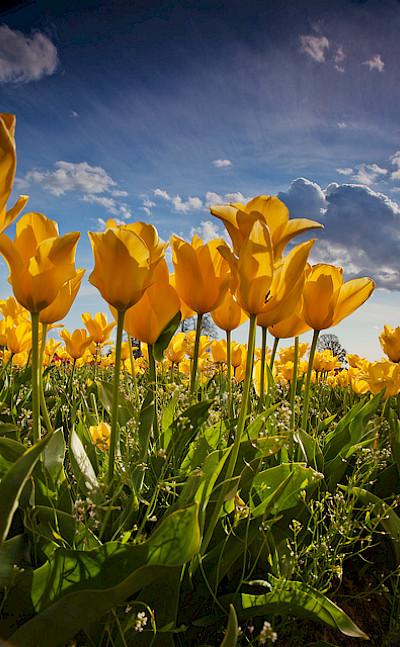 Yellow tulips. Flickr:stokesrx