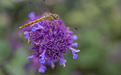 Dragonfly in the Netherlands. ©Hollandfotograaf