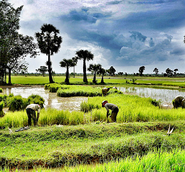 Rice fields in Siem Reap, Cambodia. Photo via Flickr:ND Strupler