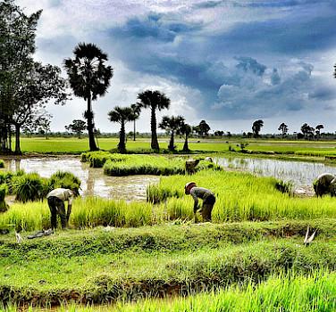 Rice fields in Siem Reap, Cambodia. Photo via Flickr:ND Strupler