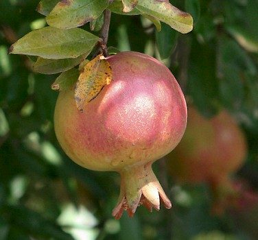 Lots of pomegranate orchards along your Turkey bike tour! Photo via Flickr:steve.wilde