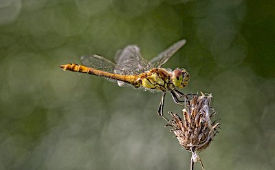 The Common Darter Dragonfly in Holland. ©Hollandfotograaf