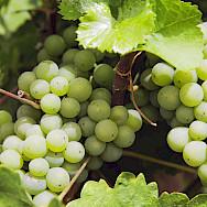 Vineyards in Volkach, a wine tasting town in Bavaria, Germany. Flickr:Markus Spiske