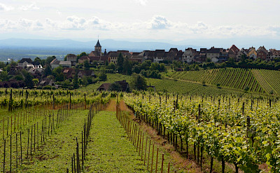 Vineyards near Riquewihr, Alsace, France. Flickr:Pug Girl