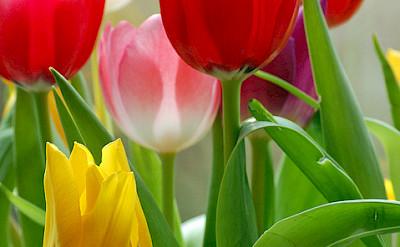 Tulips in Holland! Flickr:Duncan Harris