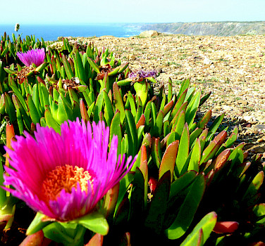 Blooming cactus along Algarve's rugged coast. Photo via Flickr:d_vdm