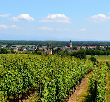 Vineyards dominate the Alsace region in France and Germany. Photo via Flickr:Tom Watson