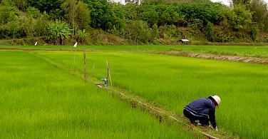 Rice paddies in Chiang Rai, Thailand. Photo via Flickr:shivyanath