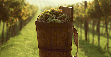 Harvesting the grapes for wine in Tokaj, Hungary.