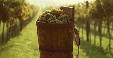 Harvesting the grapes for wine in Tokaj, Hungary.
