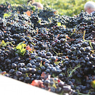 Harvesting the grapes at end-Summer in Sicily, Italy. Flickr:Fabio Ingrosso