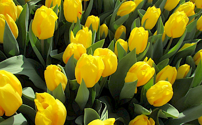Yellow tulips in the Netherlands! Flickr:Elena Giglia