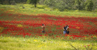 Poppies in Beit Guvrin National Park. Photo via Flickr:israeltourism