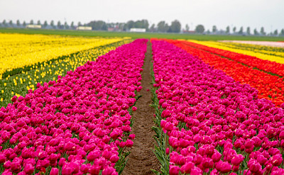 Tulip fields in early Spring in Holland! Flickr:Willem van Valkenburg