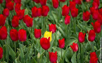 Lone tulip in Holland. Flickr:Willem van Valkenburg