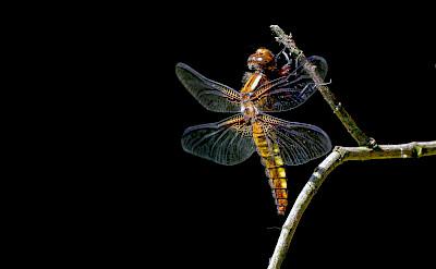 Dragonfly in the Netherlands. ©Hollandfotograaf