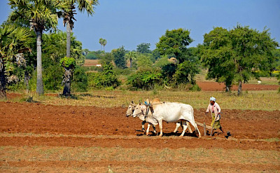 Plowing oxen near Myingyan, Myanmar. Photo by Tim Manning