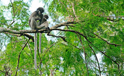 Dusky Langur monkey at Kaeng Krachan National Park in Thailand. Photo via Flickr:tontantravel