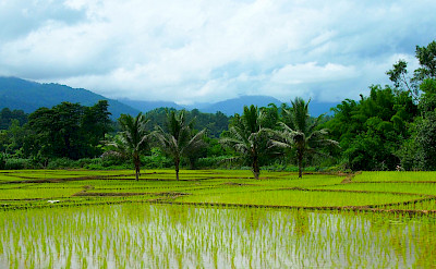 Rice fields in Thailand. Photo via Flickr:momo