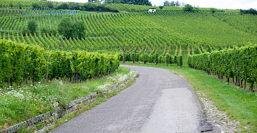 Vineyards everywhere along the Alsace Wine Tour. Photo via Flickr:Topher Howard