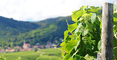 Vineyards surrounding Eguisheim, Alsace, France. Photo via Flickr:Ed Clayton