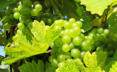 Moravia is the heart of the Czech Republic's wine industry. Photo via Wikimedia Commons:Huhulenik