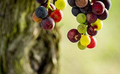 Good wine comes from good grapes. Bordeaux, France. Photo via Flickr:Paul Tridon