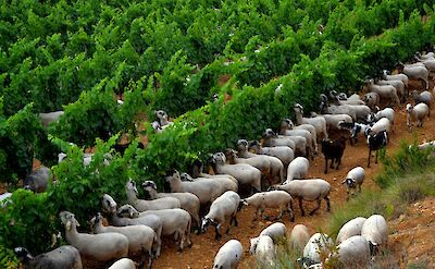 Sheep in the vines in Catalonia, Spain. Flickr:Angela Llop