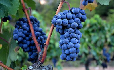 Grapes in the Catalan Pyrenees of Spain. Flickr:Angela Llop