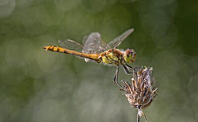 Dragonflies in Holland! ©Hollandfotograaf