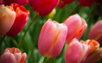 Tulips at the Keukenhof, near Lisse, Holland. Flickr:Luke Price