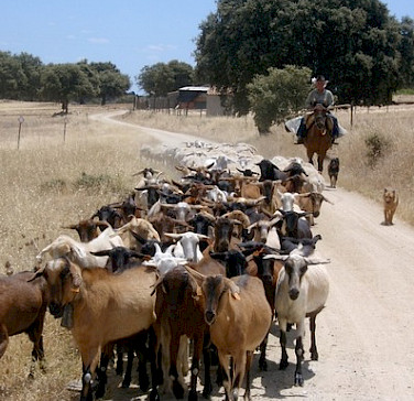 Gathering the goats. Alentejo, Portugal. Photo courtesy of TO