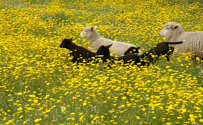 Sheep in the meadow. Alentejo, Portugal. Photo courtesy of TO