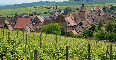 Vineyards surrounding Riquewihr, Alsace, France. Photo via Flickr:Pug Girl