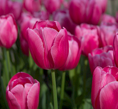Pink tulips in the Netherlands. Flickr:Nikontino