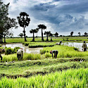 Workers in the rice paddies at Siem Reap, Cambodia. Photo via Flickr:NDStrupler