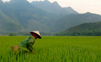 Rice fields in Vietnam. Photo via Flickr:M M